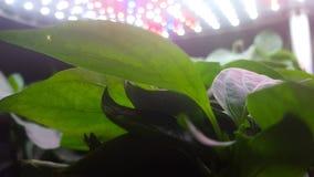 墨西哥胡椒在LED光下的胡椒芽 库存图片