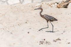墨西哥苍鹭bird beach del carmen尤加坦13 库存照片