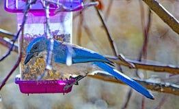 墨西哥蓝色尖嘴鸟 免版税图库摄影