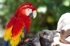 墨西哥金刚鹦鹉 库存图片