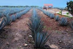 墨西哥龙舌兰种植园 免版税库存照片