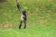 墨西哥猴子蜘蛛 库存照片