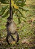 墨西哥猴子 免版税库存照片