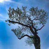墨西哥mezquite树 免版税库存图片