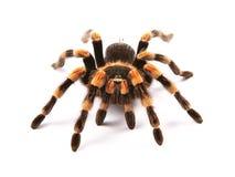 墨西哥redknee塔兰图拉毒蛛Brachypelma smithi,蜘蛛女性 免版税库存照片