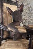 墨西哥xoloitzcuintle小狗纵向  图库摄影