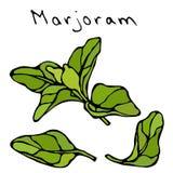 墨角兰草本分支和叶子 现实手拉的乱画样式剪影 在白色隔绝的传染媒介例证 免版税库存照片