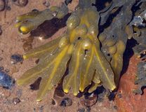 墨角藻属植物马尾藻vesiculosus失事船只 库存图片