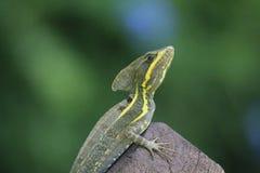 壁虎型的类型蜥蜴特写镜头画象  免版税库存照片