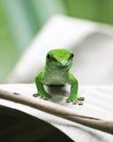 壁虎绿色 免版税库存图片