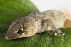 壁虎蜥蜴和叶子 免版税库存图片