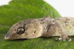 壁虎蜥蜴和叶子 免版税图库摄影