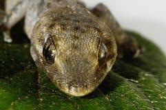 壁虎蜥蜴和叶子 图库摄影