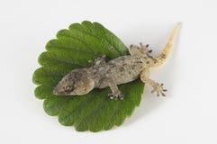 壁虎蜥蜴和叶子 库存照片