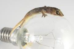 壁虎蜥蜴和电灯泡 免版税库存图片