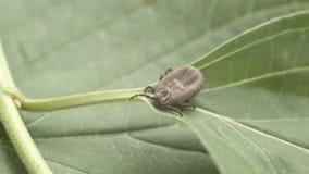 壁虱沿绿色叶子爬行 影视素材