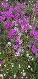 壮丽的自豪感的紫色领域 免版税库存图片