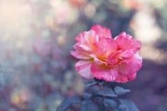 壮观上升了与精美桃红色瓣 在美好的背景的可爱的花 免版税库存照片