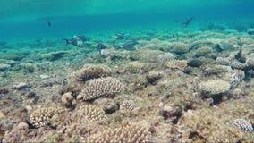 壮观潜航在红海 航行在与许多的珊瑚异乎寻常的鱼 鱼外科医生游泳过去,有其中每一的调情的人 股票录像