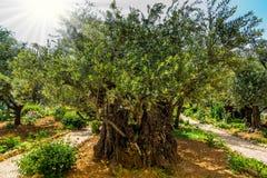 壮观的千福年的橄榄 库存图片