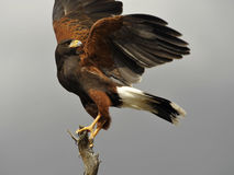 壮观的哈里斯` s鹰 库存照片