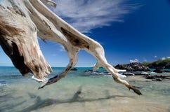 壮观的天空干燥树和海浪在Puako靠岸,大是 库存照片