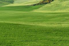 壮观的春天农村风景 托斯坎绿色波浪小山、惊人的阳光、美好的金黄领域和草甸惊人的看法  免版税库存图片
