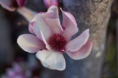 壮观的木兰 免版税图库摄影