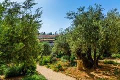 壮观的橄榄 库存照片