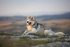 壮观的灰色西伯利亚爱斯基摩人在一个岩石说谎在克里米亚 库存照片