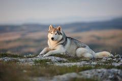 壮观的灰色西伯利亚爱斯基摩人在一个岩石说谎在克里米亚 图库摄影