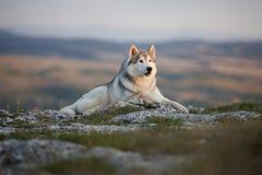 壮观的灰色西伯利亚爱斯基摩人在克里米亚半岛山的一个岩石说谎反对森林和山的背景 A 免版税库存照片