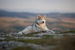 壮观的灰色西伯利亚爱斯基摩人在克里米亚半岛山的一个岩石说谎反对森林和山的背景 A 库存照片