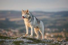 壮观的灰色西伯利亚爱斯基摩人在Crim的一个岩石站立 库存图片