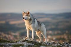 壮观的灰色西伯利亚爱斯基摩人在Crim的一个岩石站立 库存照片