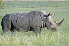 壮观的犀牛白色 免版税库存图片