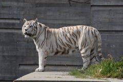 壮观的狂放的野生生物动物园 图库摄影