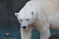 壮观的白色北极熊 免版税图库摄影