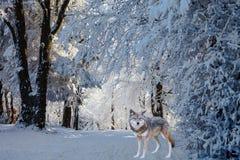 壮观的白色极性狼为寻找来了 免版税库存图片