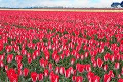 壮观的空白红色郁金香电灯泡域 图库摄影