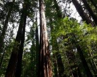 壮观的红木 库存图片