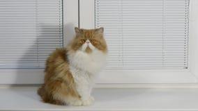 壮观的红色蓬松波斯猫坐窗口基石在与一个框架的一个窗口从白色塑料和水平 股票录像