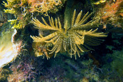 壮观的羽毛喷粉器蠕虫- Sabellastarte magnifica 免版税库存照片