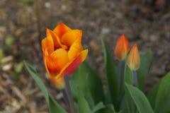 壮观的花桔子-正面图 库存照片