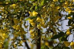 壮观的花黄色-正面图 免版税库存图片