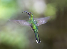 壮观的蜂鸟飞行, savegre,哥斯达黎加 免版税图库摄影