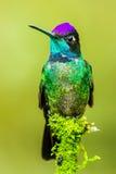 壮观的蜂鸟 免版税库存图片