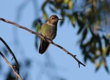 壮观的蜂鸟 免版税库存照片