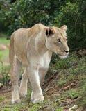 壮观的雌狮 免版税库存图片