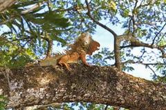 壮观的鬣鳞蜥 图库摄影